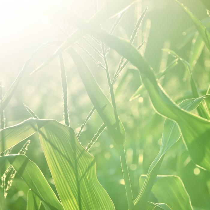 cornfield in the sunshine