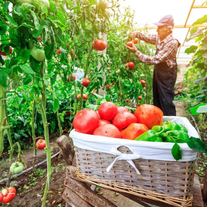 harvesting vegetables